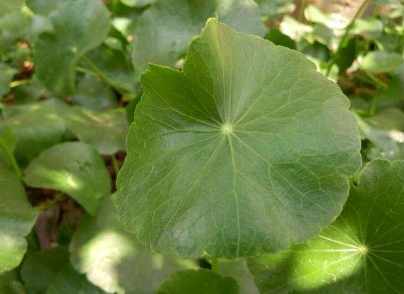 青天葵价格多少钱一斤-附青天葵的高产种植技术!